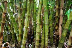 Powerful trunks of bamboo. royalty free stock photo