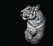 Powerful White Tiger on Black Background Royalty Free Stock Image