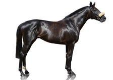 The powerfull dark bay thoroughbred stallion standing isolated on white background. royalty free stock photos