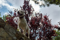 Powerfull dog over a stone wall. My dog Tina looking for something on the top of a stone wall in the middle of  the forrest Royalty Free Stock Photography