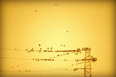 Powerline birds. Flock of birds gathering on powerlines on golden sunset  sky background Stock Photos