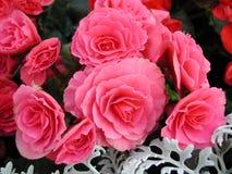 powiększ różowy kwiat zdjęcie royalty free