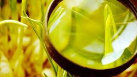 Powiększać - szkło studiować zielenistej pszenicznej rozsady w słońcu zdjęcie wideo