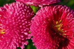 Powiekszanie cewkowaci płatki różowi kwiaty, stokrotki - selekcyjna ostrość zdjęcie stock