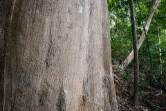 Powierzchnia stary agaru drzewo w tropikalnym lesie Zdjęcie Royalty Free