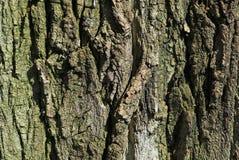powierzchniowe szczekać drzewo. Obraz Stock