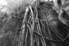 Powietrze korzenie Zdjęcie Stock