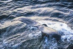 Powietrzna fotografia Alaska humpback wieloryby zdjęcia stock