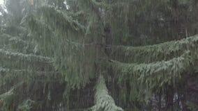 Powietrzna komarnica up świerkowymi gałąź od mglistego lasu w białym zima dniu zbiory wideo