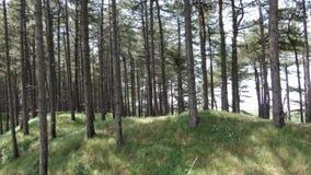 Powietrznego trutnia wideo chodzenie w kierunku conifer sosnowego lasu, kamery chodzenie w kierunku trawy wzgórza zbiory wideo
