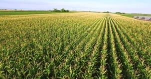 Powietrzny lot nad kukurydzanej rośliny polem zdjęcie wideo