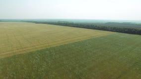 Powietrzny materiał filmowy żyto i pszeniczni pola kiwa w wiatrze zdjęcie wideo