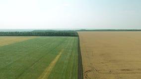 Powietrzny materiał filmowy żyto i pszeniczni pola kiwa w wiatrze zbiory