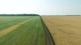 Powietrzny materiał filmowy żyto i pszeniczni pola kiwa w wiatrze zbiory wideo