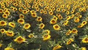 Powietrzny materiał filmowy latanie nad polem z kwitnąć pięknych słoneczniki zbiory wideo