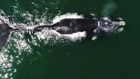 Powietrzny materiał filmowy Południowy Humback wieloryb w Gansbaai, Południowy Affrica zbiory