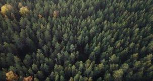 Powietrzny materiał filmowy Zielonej sosny i Żółtej brzozy las, Wolno ono Ślizga się Nad wierzchołkami drzewa - Markotny wideo, P zbiory wideo