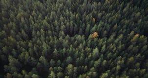 Powietrzny materiał filmowy Zielonej sosny i Żółtej brzozy las, Wolno ono Ślizga się Nad wierzchołkami drzewa - Markotny wideo, P zbiory