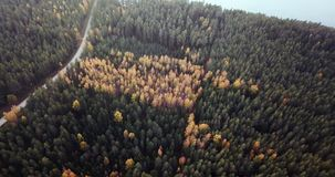 Powietrzny materiał filmowy Zielonej sosny i Żółtej brzozy las, Wolno ono Ślizga się Nad wierzchołkami drzewa - Markotny wideo, P zdjęcie wideo