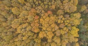 Powietrzny odgórny widok nad żółtym złotym brzoza lasem w jesieni zdjęcie stock