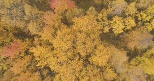Powietrzny odgórny widok nad żółtym złotym brzoza lasem w jesieni fotografia royalty free