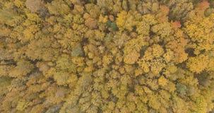 Powietrzny odgórny widok nad żółtym złotym brzoza lasem w jesieni zdjęcie royalty free