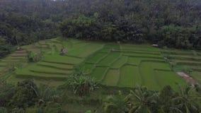 Powietrzny ryżu pole zbiory wideo
