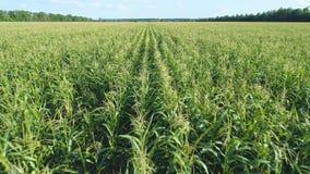 Powietrzny trutnia materia? filmowy Lata? nad z?otym kukurydzanym polem w pi?knej ziemi uprawnej Wolny przedni ruch zbiory wideo