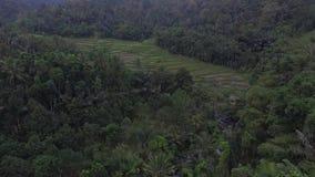 Powietrzny trutnia widoku ryż pole zbiory