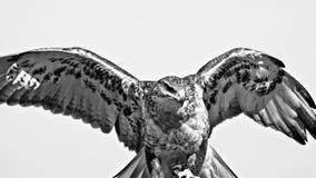 Powraca z skrzydłami Out w Czarnym & Białym fotografia stock