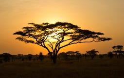 Powstający Słońce przez Akacjowego Drzewa Fotografia Stock