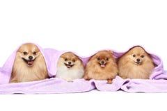 powszechny psa cztery szczeniaka spitz Obraz Royalty Free