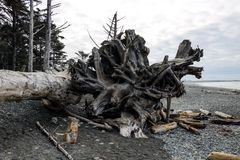 Powyginany driftwood i asortowani oceanów gruzy akumulujący na czarnych piaskach Przegrany Brzegowy backpacking ślad fotografia royalty free