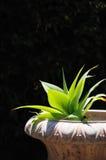 poziomy agawa plantator Zdjęcie Stock
