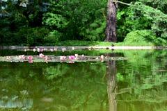 poznan Bäume, Schildkröte, Ente reflektierten sich im Wasser, Seerosen Stockfotos