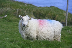 Pozować cakle na polu, Irlandia Zdjęcie Royalty Free
