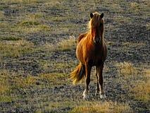 Pozować ciekawego icelandic konia Zdjęcie Stock