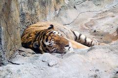 Pozwala sypialnego tygrysa kłamstwo Obraz Stock