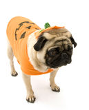 pozycja mopsa kostiumowa Halloween. obraz stock