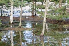 Pozza blu della molla: gli alberi nudi riflettono sulla superficie dell'acqua, un poco ghiaccio sui bordi della pozza Immagine Stock Libera da Diritti