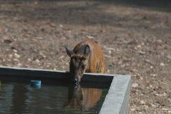 Pozzi dell'acqua potabile dei cervi del bambino Fotografie Stock Libere da Diritti