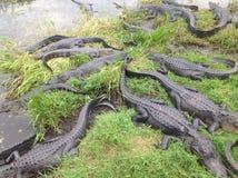 Pozzo degli alligatori dei terreni paludosi di Florida Fotografia Stock