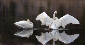 PPair de los cisnes de trompetista que reflejan mientras que separa sus alas en el río Yellowstone en el parque nacional de Yello fotos de archivo