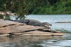 öppen krokodilmun Fotografering för Bildbyråer