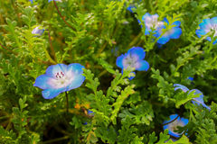 Üppige blaue Blumen hervorgehoben im grünen Laub Stockfotos
