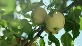 Pple orchard. The fruit on the tree. Apple tree stock video footage