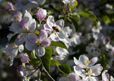 Pple tree in bloom in spring Royalty Free Stock Photo