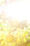 äpplebakgrundstree Arkivfoton