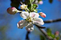 äppleblomningclosen blommar upp treen Arkivfoto