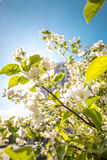äppleblomningclosen blommar upp treen Fotografering för Bildbyråer
